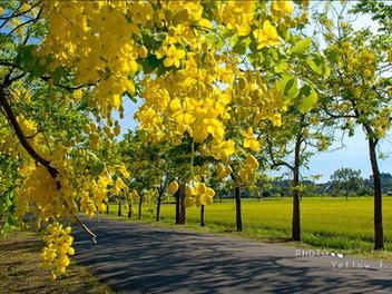 2014 台南 阿勃勒 花季 -- 黃金雨 全攻略