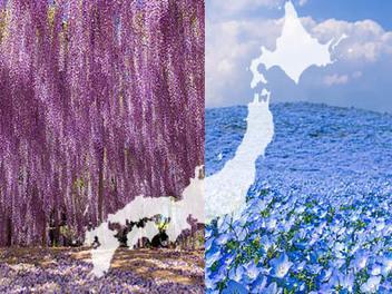 日本 櫻花 拍膩了? 紫藤 天空、 粉蝶花 海,帶你欣賞不同的 東瀛 之春