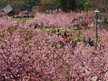新竹攝影私房景點分享:漫步市區櫻花樹下 - 新竹公園