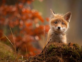 狐狸寶寶趣照,就是要萌翻你的心!