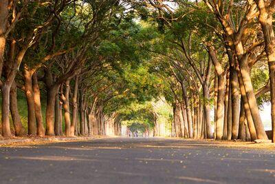 路旁苦楝樹林