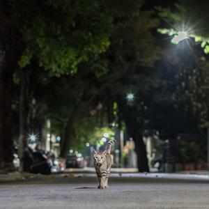 都市叢林中的小老虎